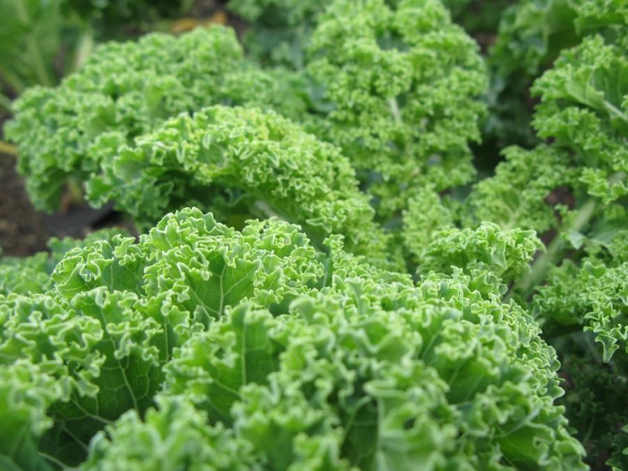 KALE CRAZE: Students and staff enjoy the health benefits of kale. It is a source of vitamin A, K, B6 and C, fiber, calcium and iron. But many are unaware of kale's possible negative effects.